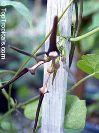 Aristolochia tagala, Aristolochia acuminata, Aristolochia roxburghiana, Indian Birthwort, Oval leaf Dutchman's Pipe  Click to see full-size image