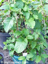 Mondia whytei , African Viagra Vine, Mukombera, White's Ginger, Gondolosi  Click to see full-size image
