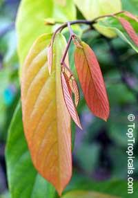 Desmos sp. , Red Ylang-YlangClick to see full-size image