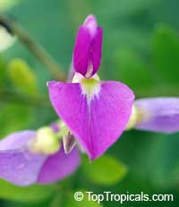 Mundulea sericea, Dalbergia sericea, Mundulea suberosa, Silver Bush, Cork Bush, Sheesham Tree  Click to see full-size image