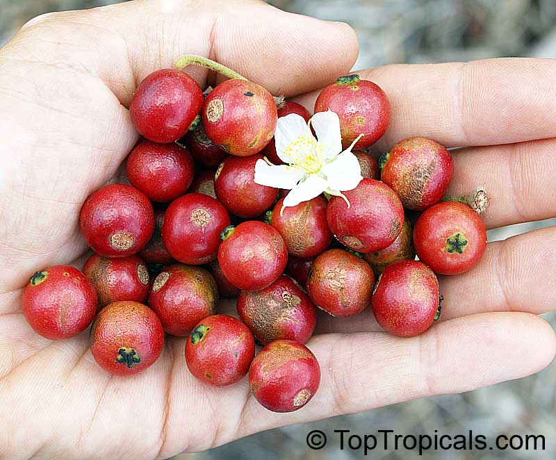 tea beverage jamaica cherry Common name: jamaica cherry, panama cherry, singapore cherry, strawberry  tree, jam tree, cotton  the leaf infusion is drunk as a tea-like beverage.