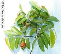 Desmos sp. , Red Ylang-Ylang  Click to see full-size image