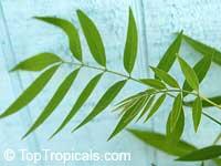 Cassia spectabilis, Senna spectabilis, Senna macranthera, Cassia, Scented Shower  Click to see full-size image