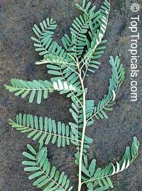 Sesbania sesban, Sesbania aegyptiaca, Egyptian Pea  Click to see full-size image