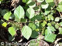 Grewia robusta, Raisin Bush  Click to see full-size image