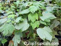 Gyrocarpus jacquini, Gyrocarpus americanus, Propellerbaum, Whirly Whirly Tree Burl, Stinkwood, Helicopter Tree, Shitwood  Click to see full-size image