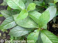Vangueria infausta , Wild Medlar   Click to see full-size image