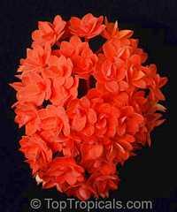 Ixora congesta, Ixora griffithiana, Ixora Thai FlameClick to see full-size image