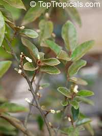 Elaeagnus philippinensis, LingaroClick to see full-size image