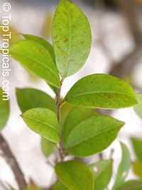 Elaeagnus philippinensis, Lingaro  Click to see full-size image