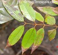 Marlierea edulis, Rubachia glomerata, Cambuca, Cambuca-Verdadeiro, Cambucaseiros  Click to see full-size image