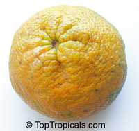Citrus paradisi, Grapefruit