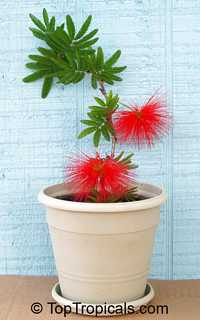 Calliandra tweedii With Love - Red Tassel Flower