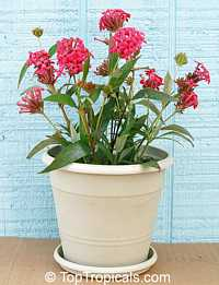 Rondeletia leucophylla, Panama Rose, Bush Pentas  Click to see full-size image