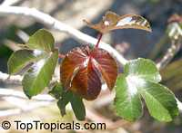 Jatropha gossypiifolia, Bellyache bush, Cotton Leaf, Physic nut, Sibidigua, Tua-TuaClick to see full-size image
