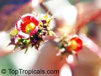 Jatropha gossypiifolia, Bellyache bush, Cotton Leaf, Physic nut, Sibidigua, Tua-Tua  Click to see full-size image
