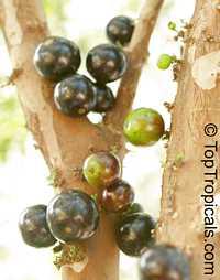 Myrciaria cauliflora, Plinia cauliflora, Eugenia cauliflora, Jaboticaba, Duhat  Click to see full-size image