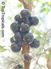 Myrciaria cauliflora, Plinia cauliflora, Eugenia cauliflora, Jaboticaba, DuhatClick to see full-size image