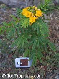 Senna sp., Cassia sp., CassiaClick to see full-size image