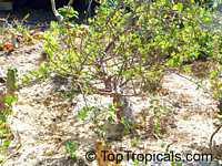 Bursera fagaroides, Elephant Tree, Fragrant Bursera