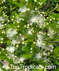 Myrcianthes fragrans - Simpsons StopperClick to see full-size image