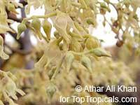 Shorea robusta, Sal Tree, Sal, Salwa, Sakhu  Click to see full-size image
