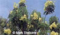 Cassia afrofistula, Kenyan Shower  Click to see full-size image