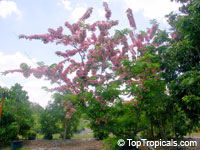Cassia nodosa, Pink Shower Tree, Appleblossom Tree