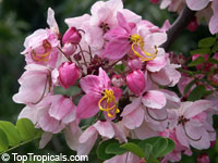 Cassia nodosa hybrid - Pink Shower, Appleblossom-GRAFTED  Click to see full-size image
