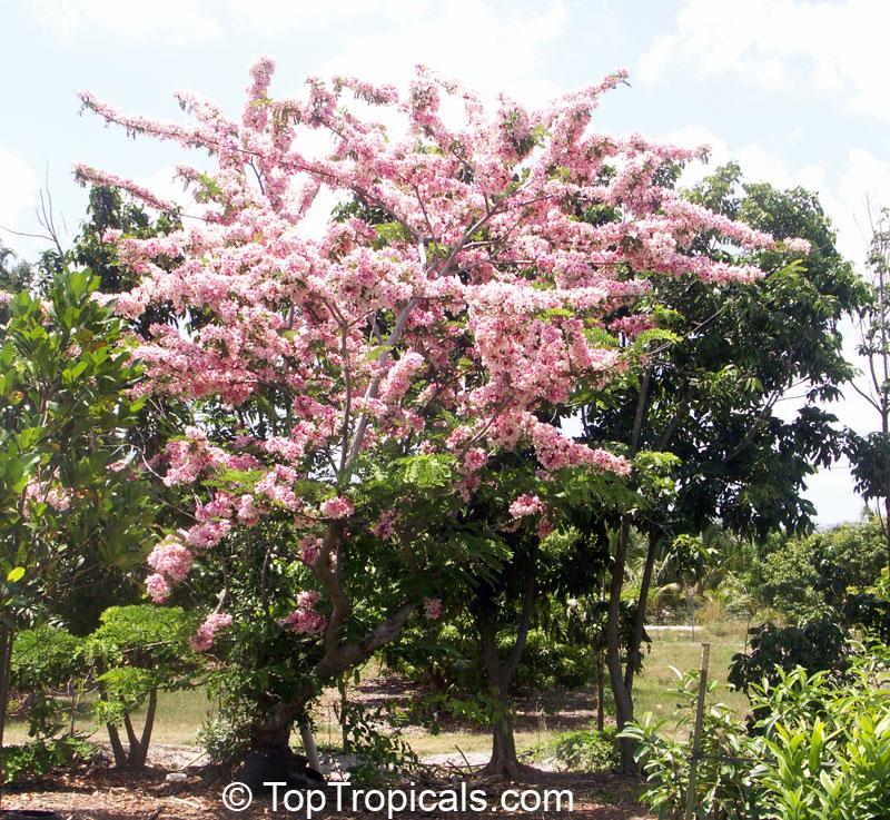Cassia Nodosa Pink Shower Tree Appleblossom Tree