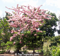 Cassia nodosa, Pink Shower Tree, Appleblossom Tree  Click to see full-size image