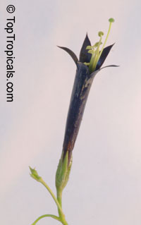Lisianthius nigrescens, Flower of Death, La Flor de Muerto, Black Lisianthus 
