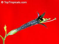 Lisianthius nigrescens, Flower of Death, La Flor de Muerto, Black Lisianthus   Click to see full-size image