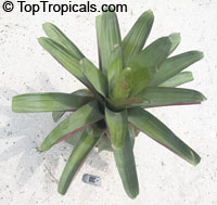 Alcantarea imperialis, Vriesea imperialis, Giant Bromeliad  Click to see full-size image