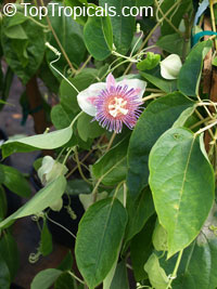 Passiflora maliformis, Sweet Calabash, Conch apple, Hard-shelled Passionfruit, Sweet Cup, Water Lemon  Click to see full-size image