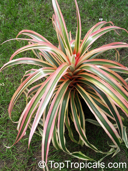 how to create side shoots on dracaena plant