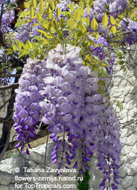Wisteria sinensis - seeds