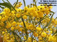 Acacia saligna, Golden Wattle, Long-leaved Wattle, Long-leaved Acacia, Sallow Wattle, Coast Wattle, Golden Rods