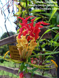 Gloriosa Orange Glory - seeds  Click to see full-size image