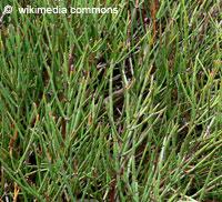 Ephedra sp., Ephedra, Sea Grape  Click to see full-size image