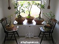Adenium sp., Adenium, Desert Rose, Impala Lily  Click to see full-size image