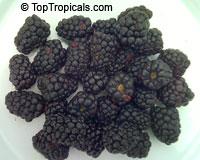 Rubus sp., Raspberrie, Blackberrie, Dewberrie  Click to see full-size image