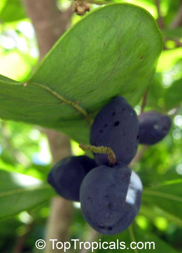 Bucida sp variegata dwarf geometry tree bucida spinosa spiny black