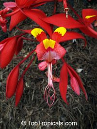 Amherstia nobilis - Pride of Burma (pick up only!)