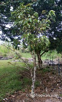 Vangueria madagascariensis, Spanish Tamarind  Click to see full-size image