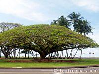 Samanea saman - Monkeypod  Click to see full-size image