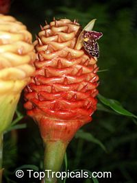 Zingiber spectabile, Beehive Ginger, Microfono  Click to see full-size image