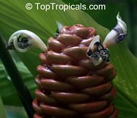 Zingiber spectabile, Beehive Ginger, MicrofonoClick to see full-size image