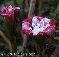 Etlingera venusta, Malay Rose  Click to see full-size image