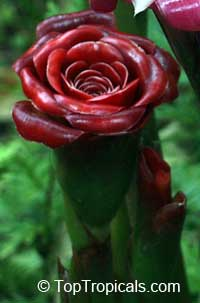 Etlingera corneri, Rose of SiamClick to see full-size image
